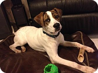 Boxer/Pointer Mix Dog for Sale in hollywood, Florida - dixie