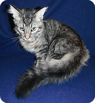 Domestic Mediumhair Kitten for Sale in Jackson, Michigan - Rex