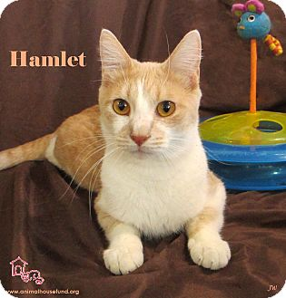 Domestic Shorthair Cat for adoption in St Louis, Missouri - Hamlet