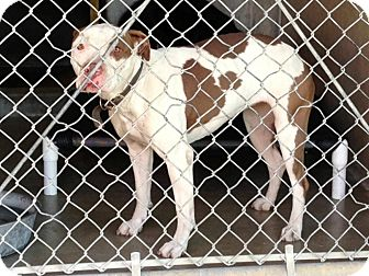 Pit Bull Terrier/Pit Bull Terrier Mix Dog for Sale in San Diego, California - Piper URGENT