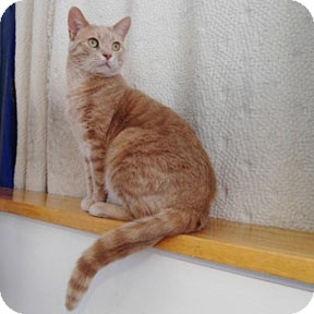 Domestic Shorthair Cat for adoption in Verdun, Quebec - Tiki
