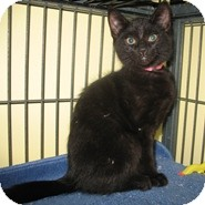 Domestic Shorthair Kitten for Sale in Shelton, Washington - Carrie