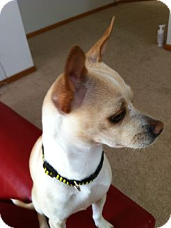 Whippet/Chihuahua Mix Dog for Sale in Bellingham, Washington - Sally