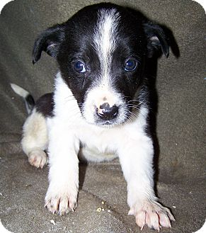 Australian Cattle Dog/Border Collie Mix Puppy for Sale in Niagra Falls, New York - Denise $75.00 OFF ADOPTION
