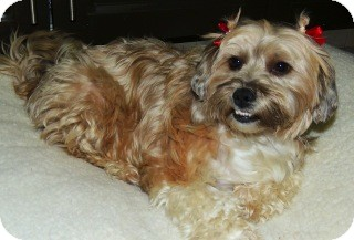 Shih Tzu/Pekingese Mix Dog for Sale in San Diego, California - SUSSY