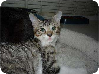 Domestic Shorthair Kitten for adoption in Margate, Florida - Katie
