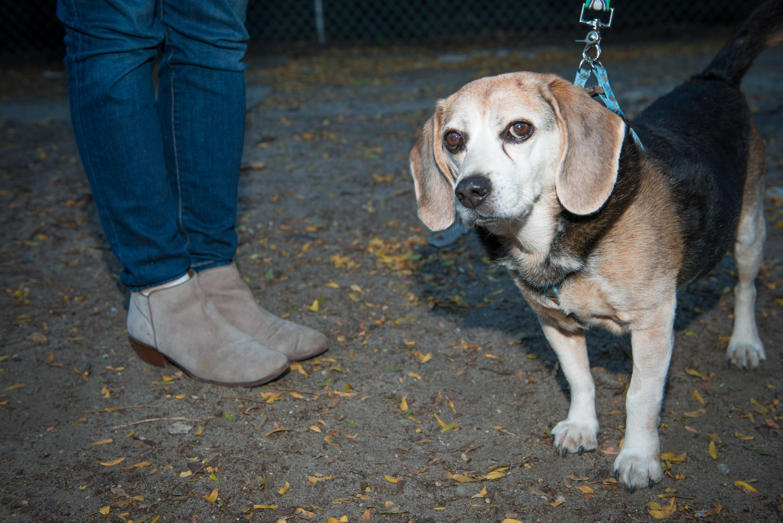 Beagle coonhound mix
