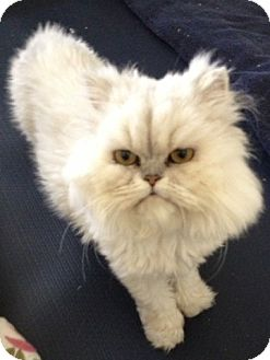 Persian Cat for Sale in Beverly Hills, California - LaBelle