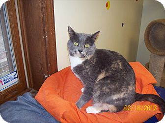 Calico Cat for Sale in Scottsburg, Indiana - Daisy