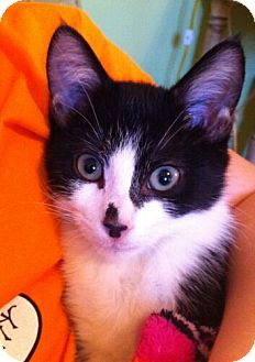 Domestic Shorthair Kitten for Sale in Sterling, Virginia - Peter