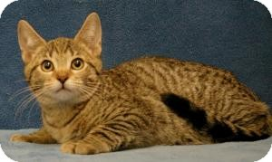 Domestic Shorthair Cat for Sale in Sacramento, California - Milo