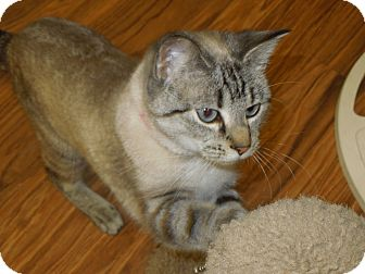 Siamese Cat for Sale in Medina, Ohio - Ivy