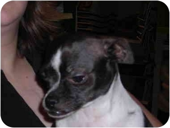 Boston Terrier/Chihuahua Mix Dog for adption in Fresno, California - Gertie