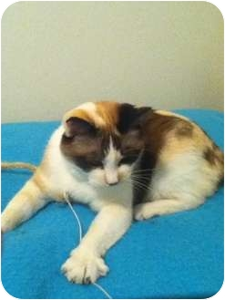 Siamese Cat for adoption in San Jose, California - Sally