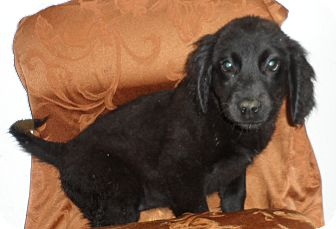 Flat-Coated Retriever/Beagle Mix Puppy for Sale in Seattle, Washington - Mystery