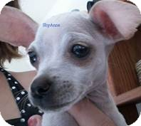 Chihuahua Mix Dog for Sale in San Diego, California - Baby