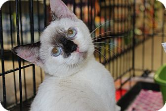 Snowshoe Kitten for Sale in santa monica, California - Willow