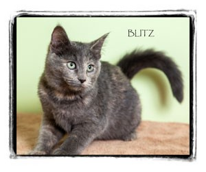 Domestic Shorthair Kitten for Sale in Warren, Pennsylvania - Blitz