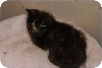 Domestic Mediumhair Cat for adoption in Grafton, West Virginia - Wendy