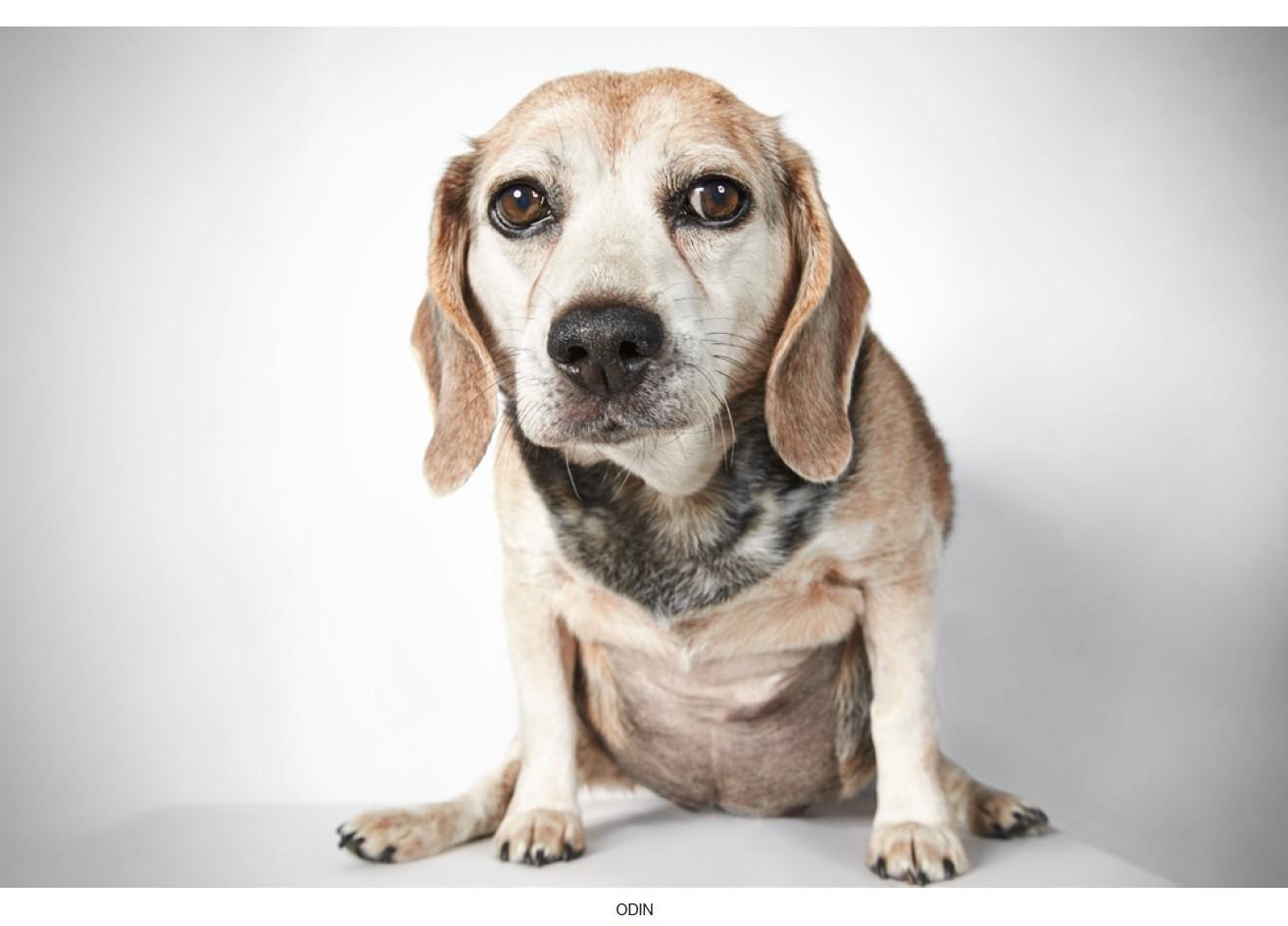 Beagle dalmation mix