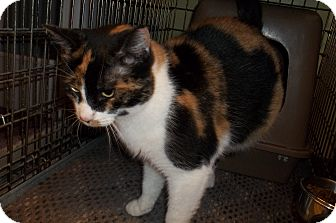 Domestic Shorthair Cat for Sale in Acme, Pennsylvania - Patches