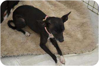 Chihuahua Mix Dog for adption in Chino, California - Princess
