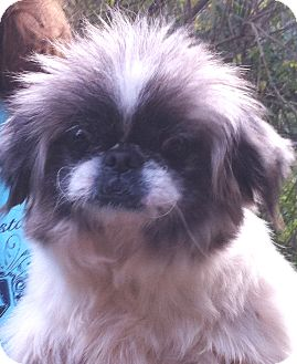Pekingese Dog for adption in Sanford, Florida - Bates