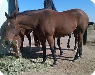 Quarterhorse Mix for adoption in Larskpur, Colorado - Adara
