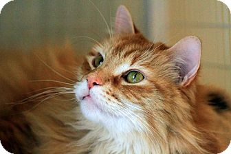 Domestic Longhair Cat for adoption in Gaithersburg, Maryland - Fluffy Nutter