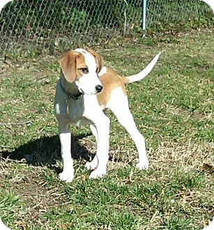 Hound (Unknown Type) Mix Puppy for Sale in Richmond, Virginia - Liza
