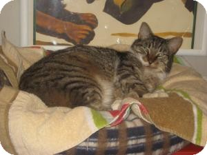 Domestic Shorthair Cat for adoption in Belleville, New Jersey - Buckley (AKA BIG LOVE)