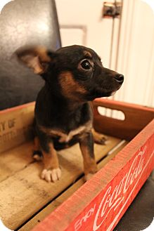 Chihuahua/Terrier (Unknown Type, Small) Mix Puppy for Sale in Hamburg, Pennsylvania - Tia