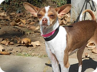 Chihuahua/Italian Greyhound Mix Dog for Sale in Chula Vista, California - Shelby