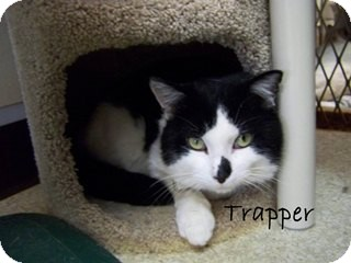 American Shorthair Cat for Sale in Hamilton, Montana - Trapper