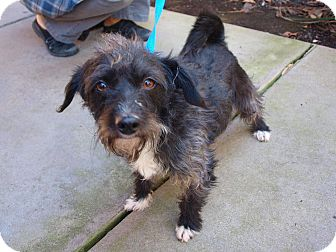 Terrier (Unknown Type, Small) Mix Dog for Sale in Chula Vista, California - Mikey