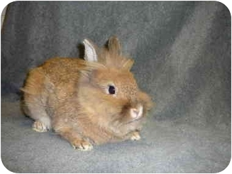 Lionhead Mix for Sale in Newport, Delaware - Brewster