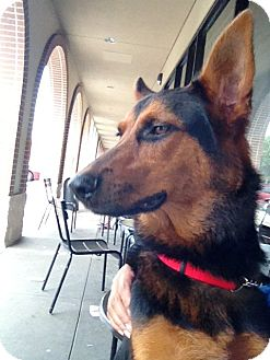 German Shepherd Dog/Doberman Pinscher Mix Dog for Sale in Missouri City, Texas - Max