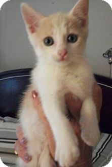 Domestic Shorthair Kitten for Sale in Sterling, Virginia - Butterscotch