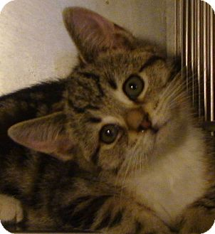 Domestic Shorthair Kitten for Sale in El Cajon, California - Hope
