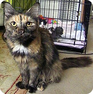 Domestic Shorthair Cat for adoption in Alexandria, Virginia - Elaine