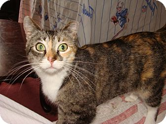 Calico Cat for Sale in Spotsylvania, Virginia - Heidi