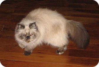 Himalayan Cat for Sale in Vacaville, California - Ciba