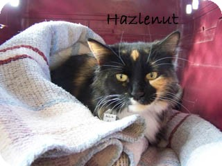 Domestic Shorthair Kitten for Sale in Hamilton, Montana - Hazlenut