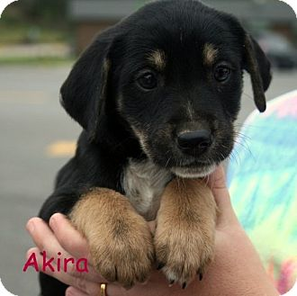 Terrier (Unknown Type, Medium)/Shepherd (Unknown Type) Mix Puppy for Sale in Danbury, Connecticut - Akira