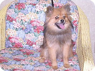 Pomeranian Dog for Sale in New Castle, Pennsylvania -