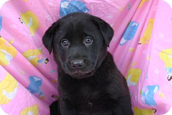 Labrador Retriever Mix Puppy for Sale in Glastonbury, Connecticut - Sephora