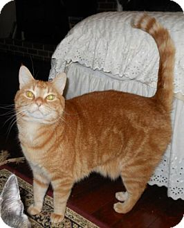 Domestic Shorthair Cat for Sale in Sterling, Virginia - Charlie