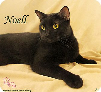 Domestic Shorthair Cat for adoption in St Louis, Missouri - Noell