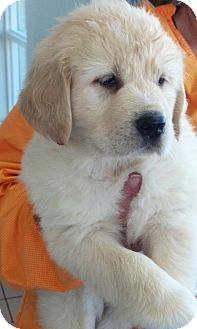 Golden Retriever/Great Pyrenees Mix Puppy for Sale in La Mirada, California - Nate