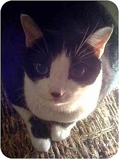 Domestic Shorthair Cat for adoption in Little Falls, New Jersey - Paris (MP)